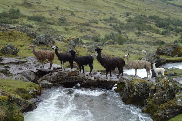 Llama Traffic Jam Inca Trail