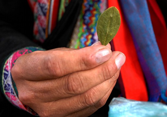 coca leaves - things to know before visiting peru